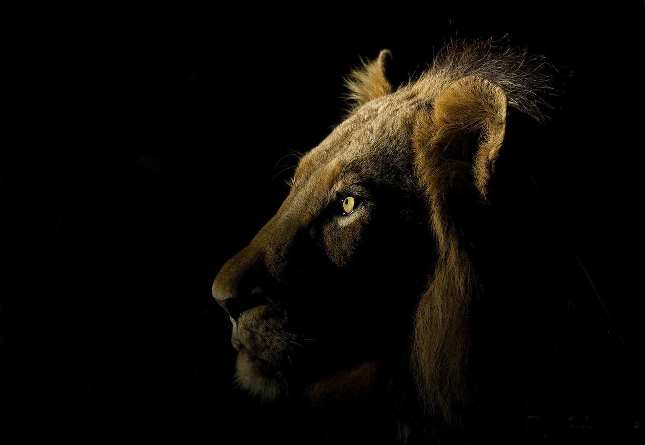 lion-spotlight.jpg
