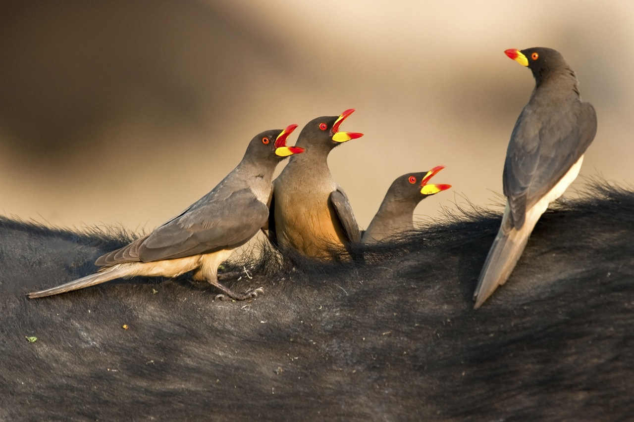 Yellow billed oxpeckers.jpg