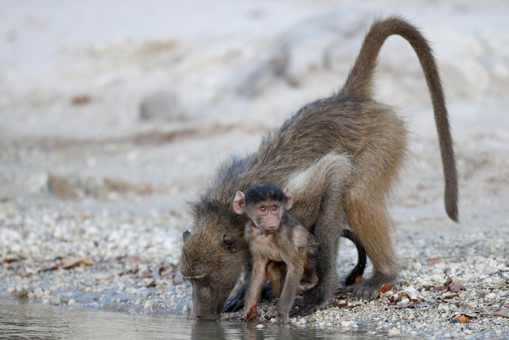baboon-baby-drinking1_gallery.jpg