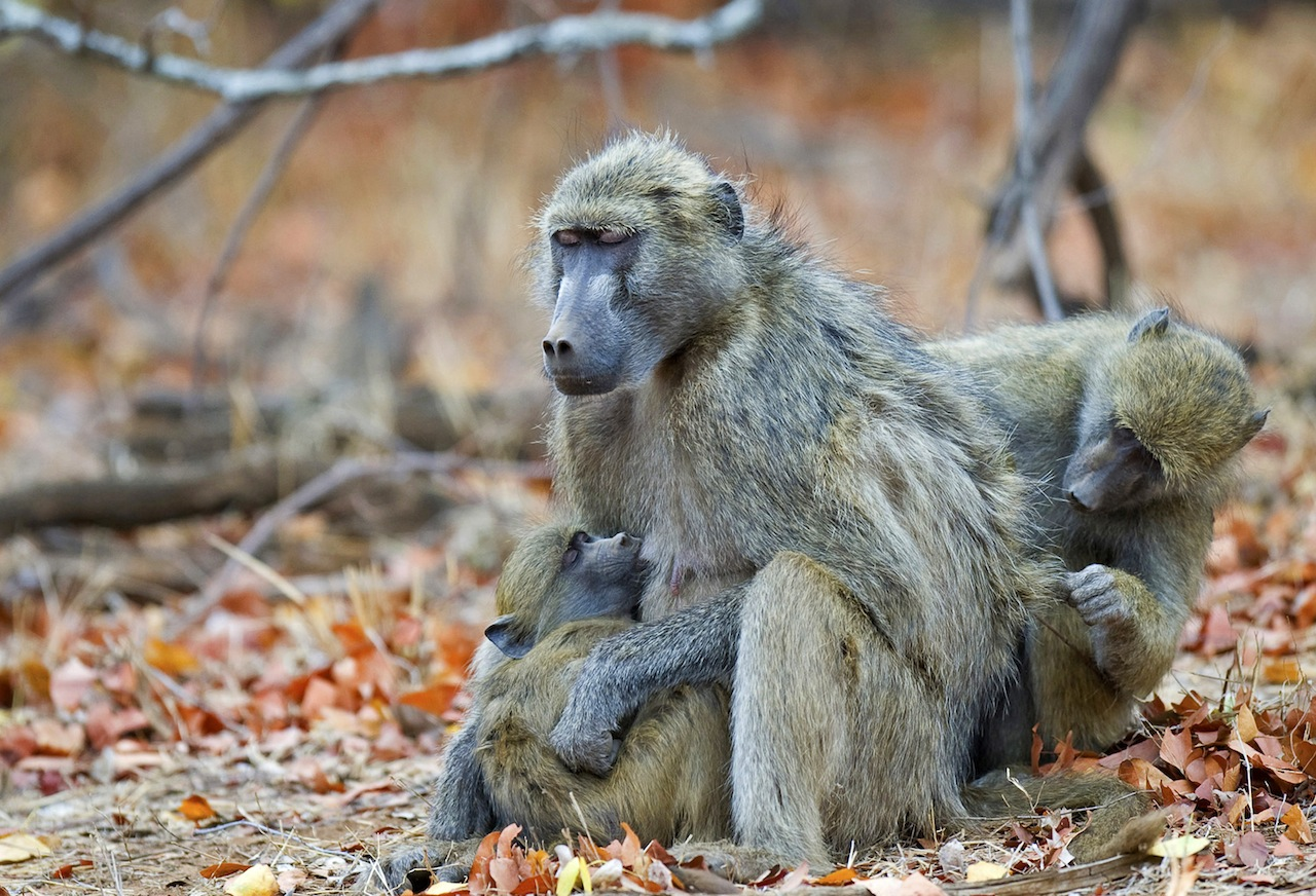 baboon-family_gallery.jpg