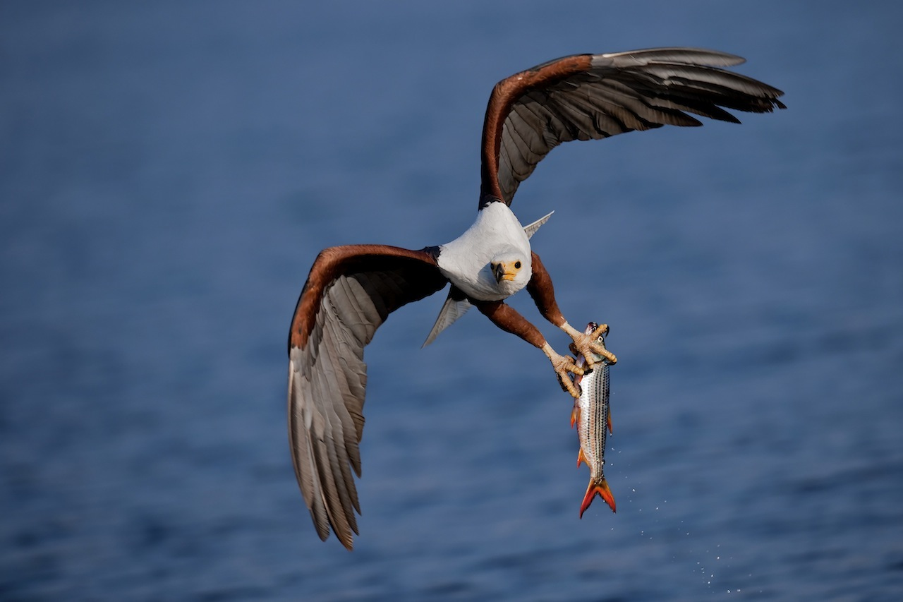 fish-eagle-catch2.jpg