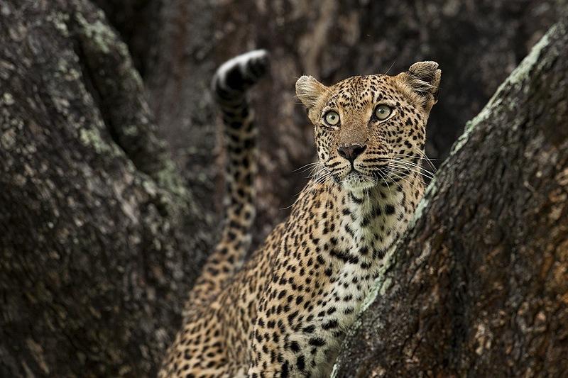 Leopard-stare.jpg