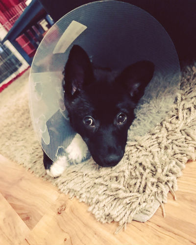Heartly just got spayed last week in preparation to go to her forever family! She isn't a big fan of her cone of shame.