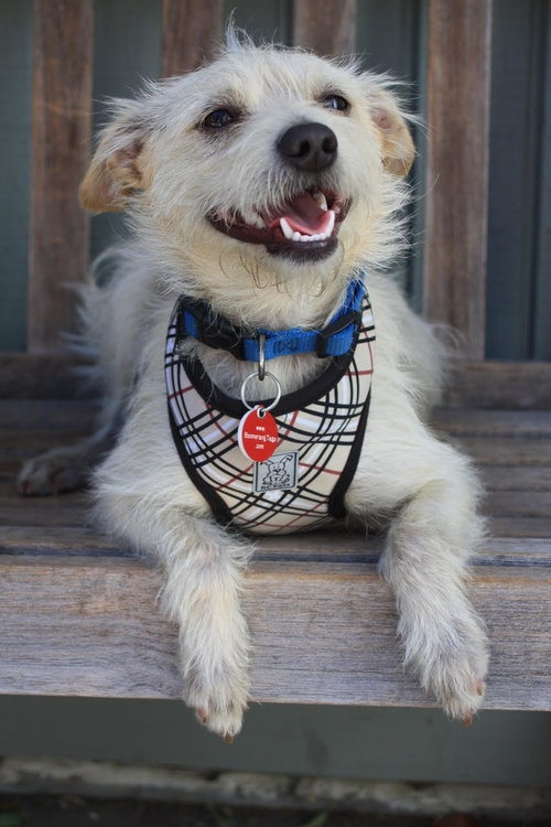 Meet  Max . Max is good to go on any adventure - he's got a harness, a dog collar and he's microchipped!