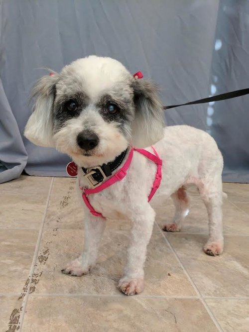 Meet  ChaCha . ChaCha is an 8-year old love muffin, and she's happily microchipped!