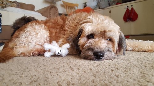 Meet  Sophie , our poodle/terrier mix, who is happy to be in her foster home.
