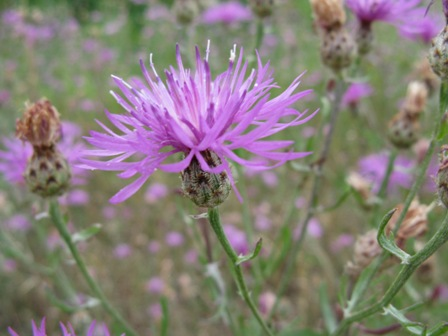 Spotted Knapweed -  Photo By: M. Ammeter