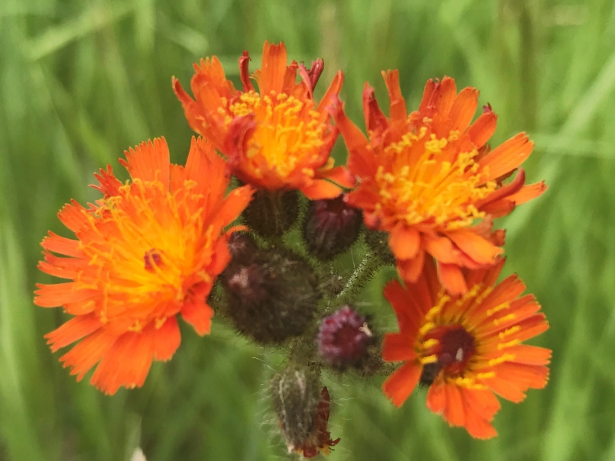 Orange hawkweed – photo credit: Tammy Jones, Mb Agriculture