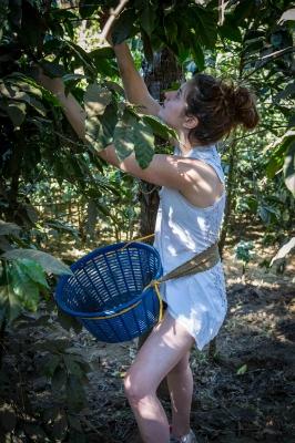 Harvesting the ripe coffee fruit.