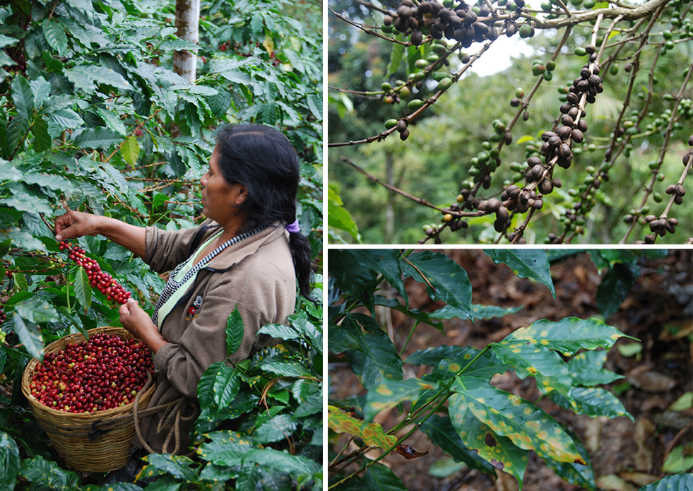L: Harvesting a healthy coffee plant. R top: dead coffee fruit due to roya. R bottom: signs of roya