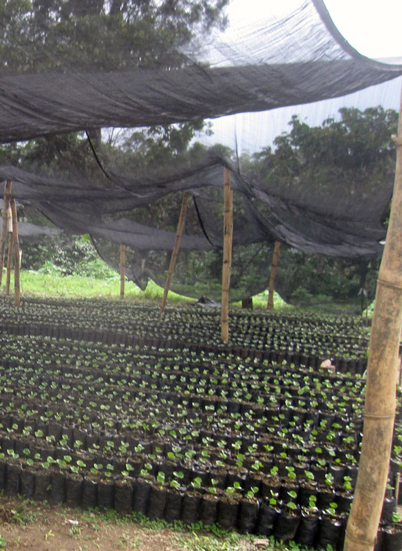 Young coffee pilones at the new tree nursery in Santa Anita, made possible through donations.
