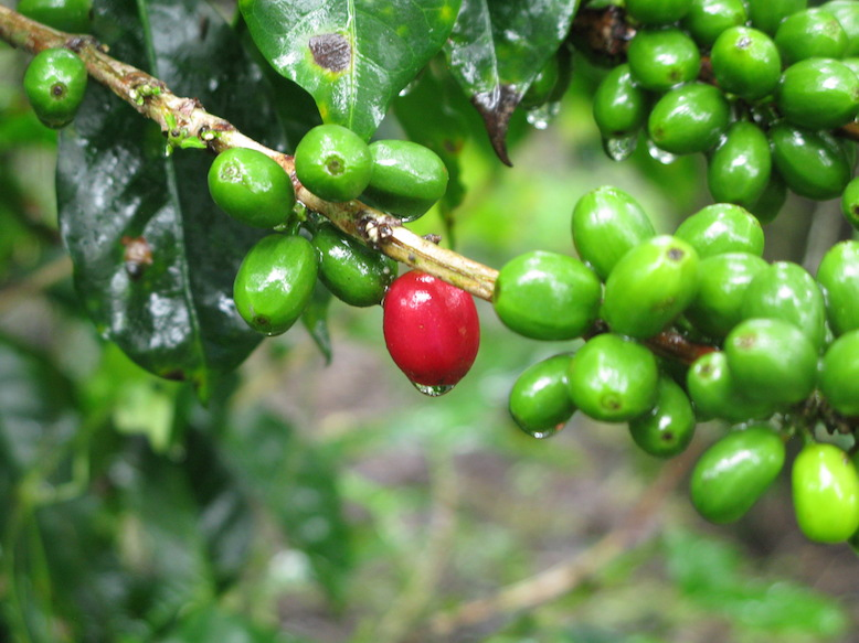 When the coffee fruits turn bright red, they're ready for picking.