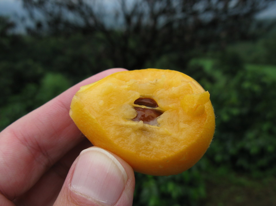 Many other crops are grown for shade purposes, including the nispero - or loquat. Biting into a fresh loquat is a refreshing snack during the journey.