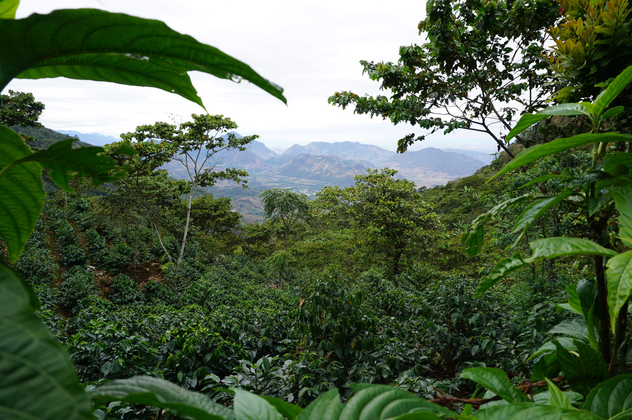 View over a coffee field in Huehuetenango to Mexico.