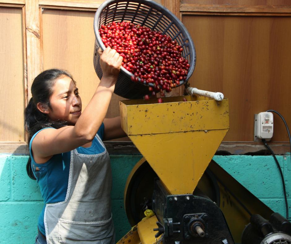 woman dumping coffee beans in depulper