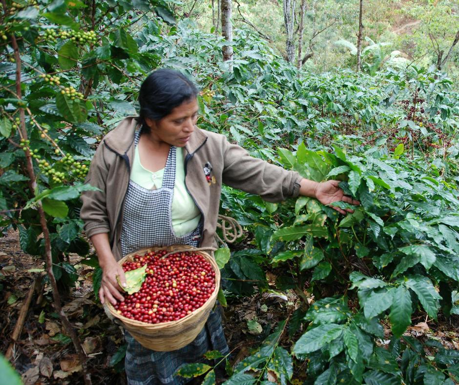 woman showing coffee plants