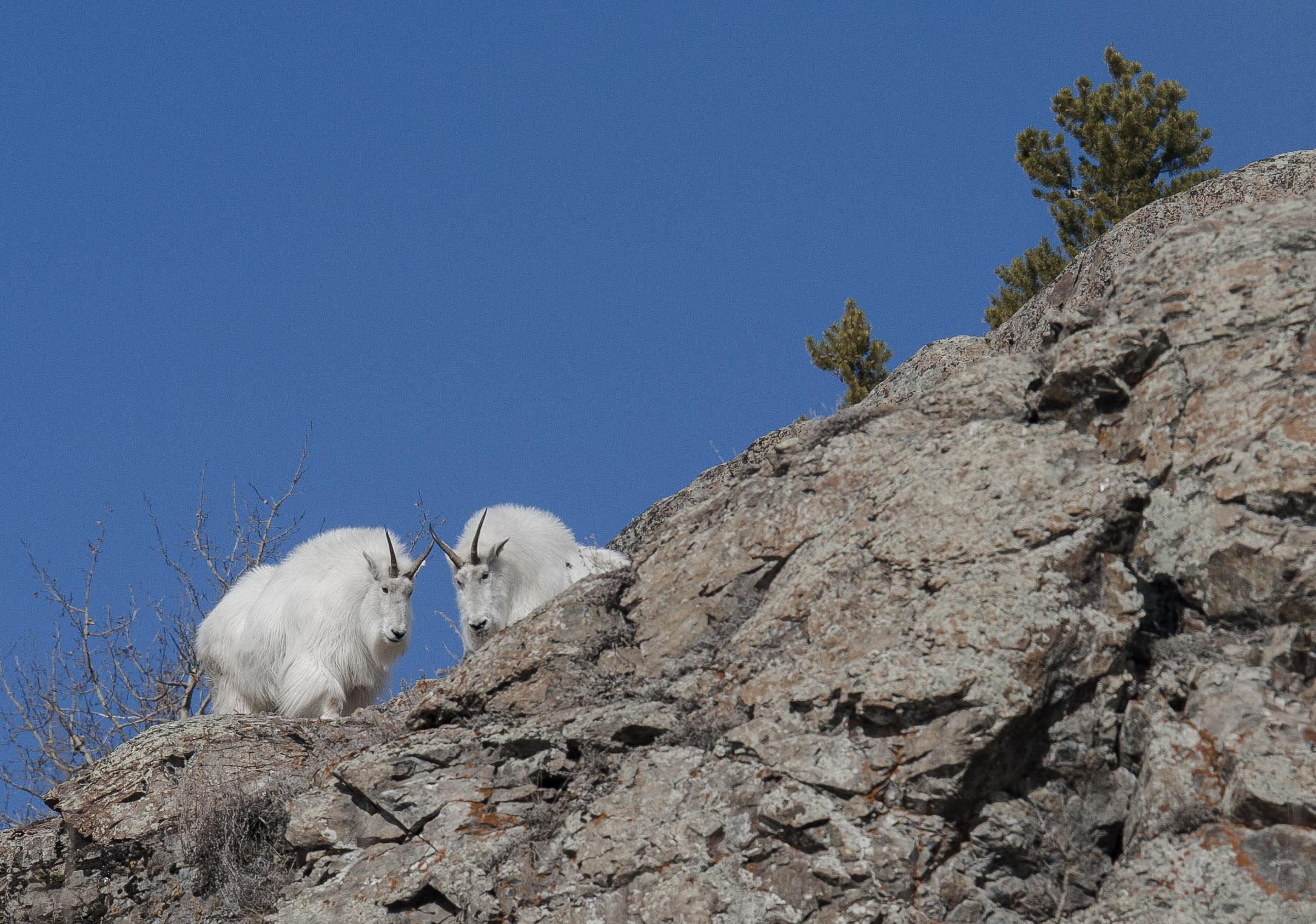 mountain goats in yukon - Copy.jpg