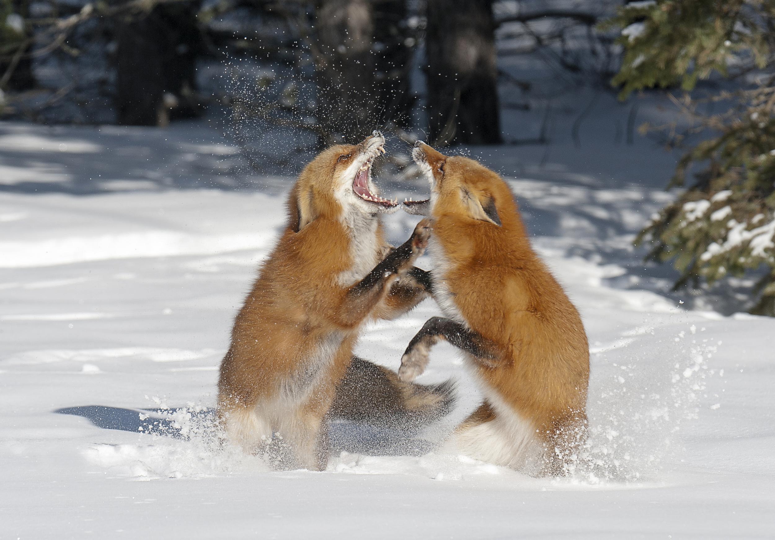 fox fight.jpg