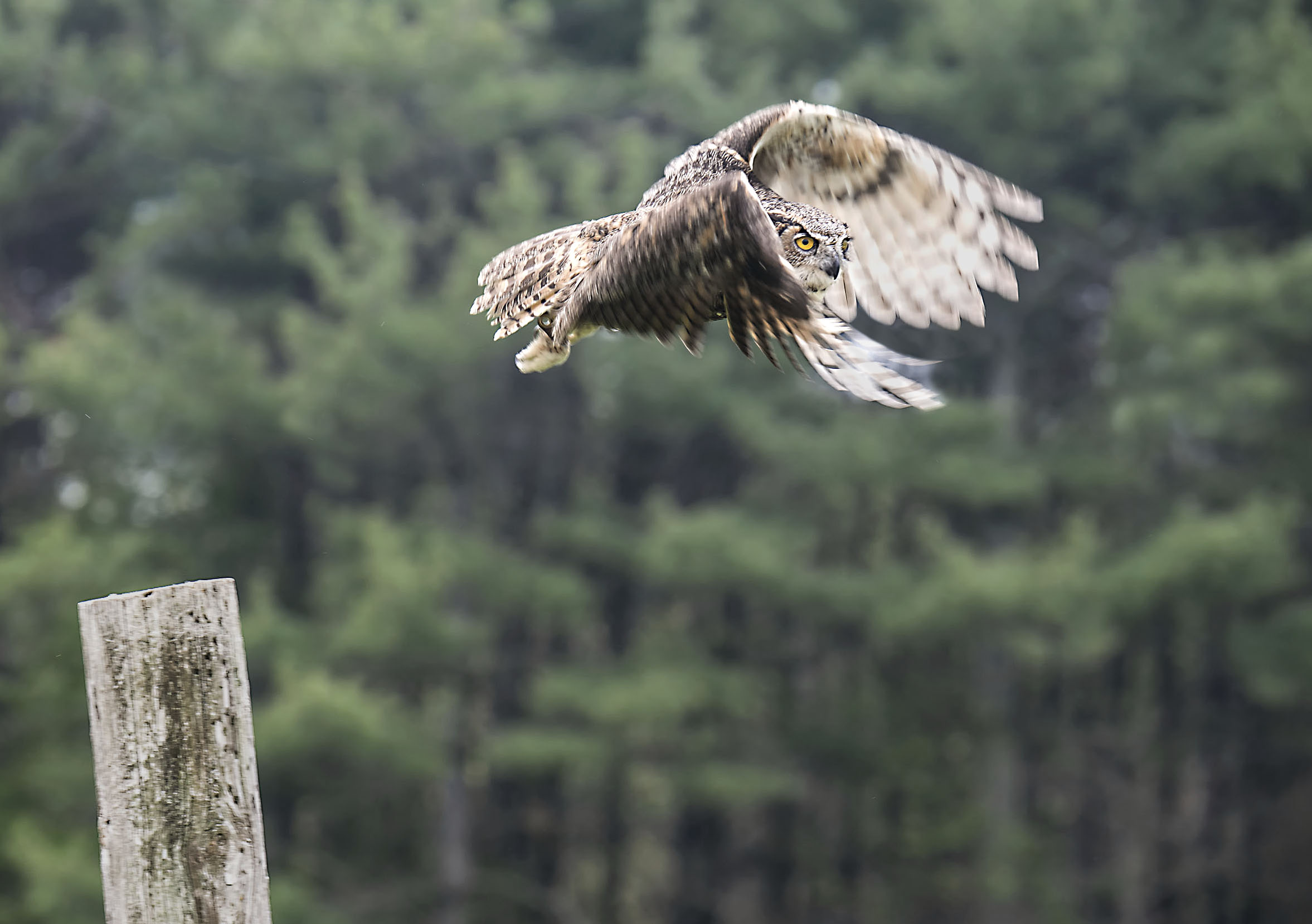 great horned owl in flight with slow shutter speed.jpg