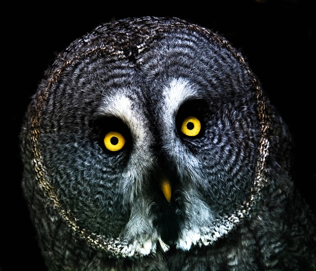 face of a great gray owl.jpg