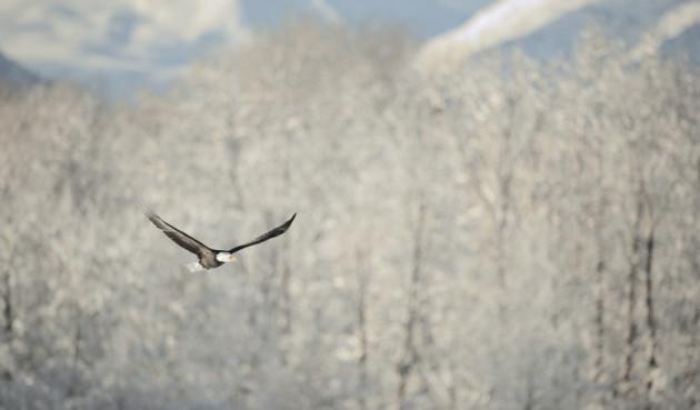 BC Bald Eagles 3.jpg