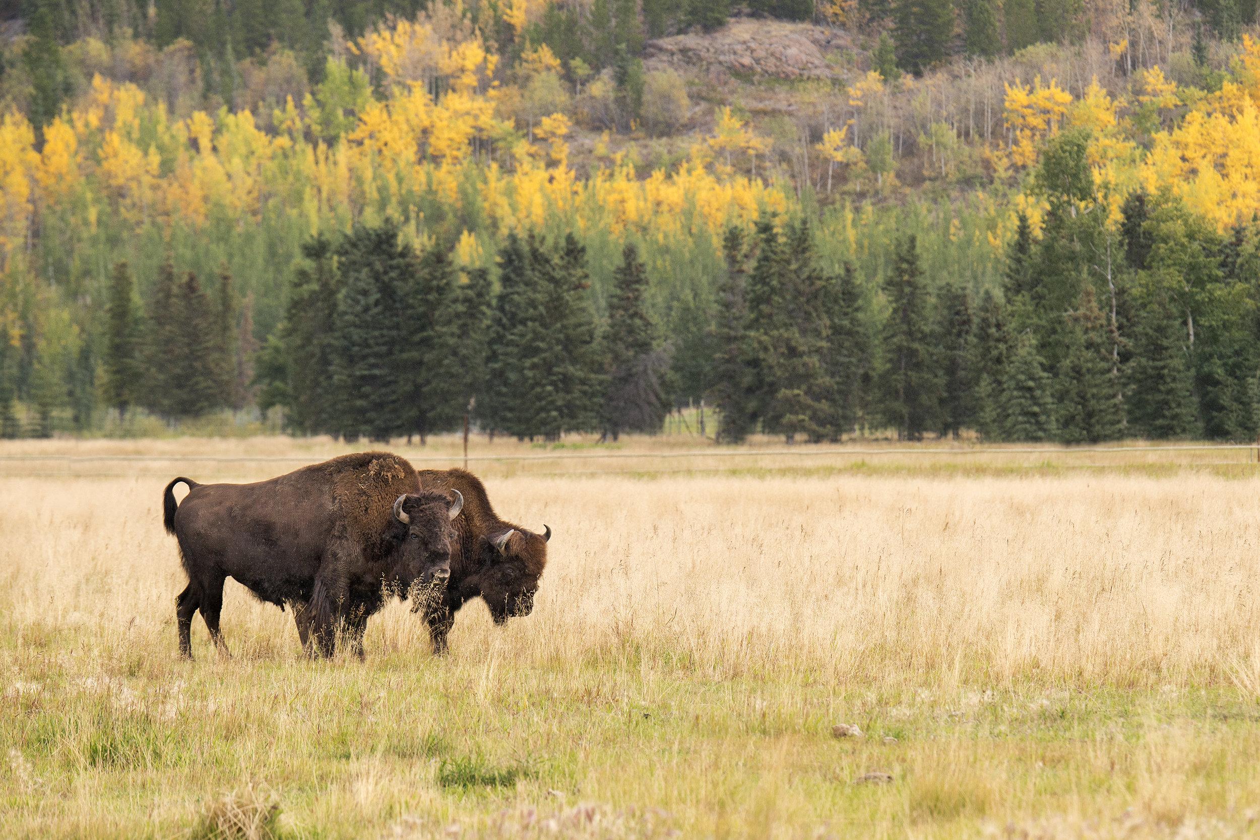 bison in autumn_web.jpg