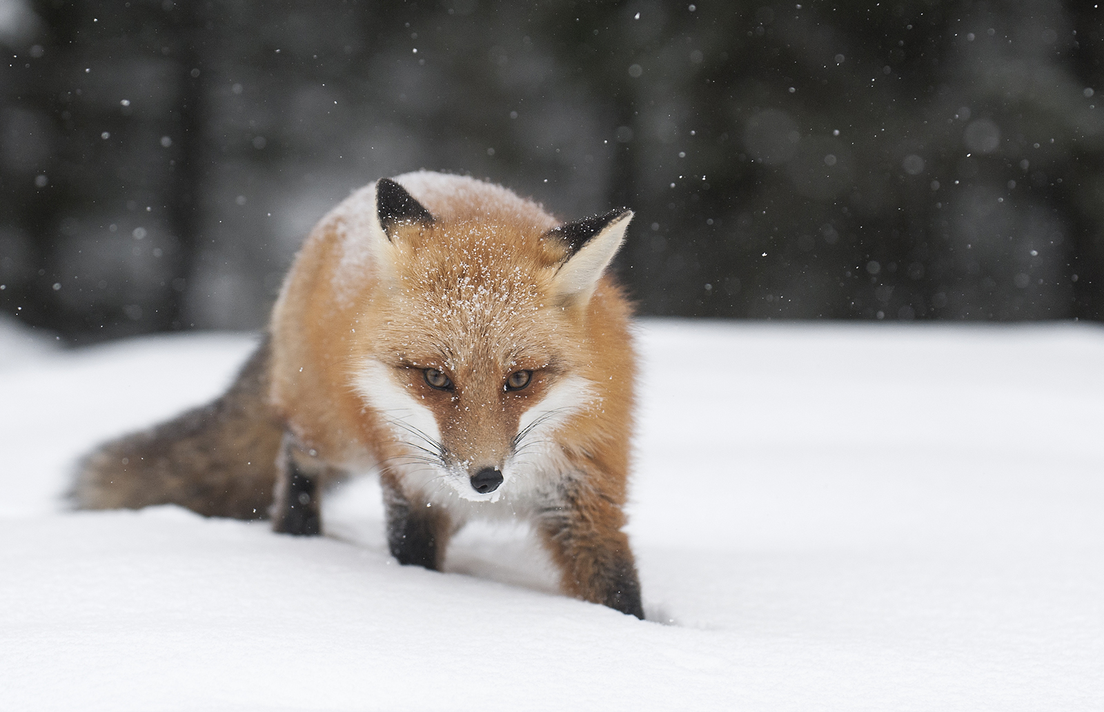 fox in the winter.jpg