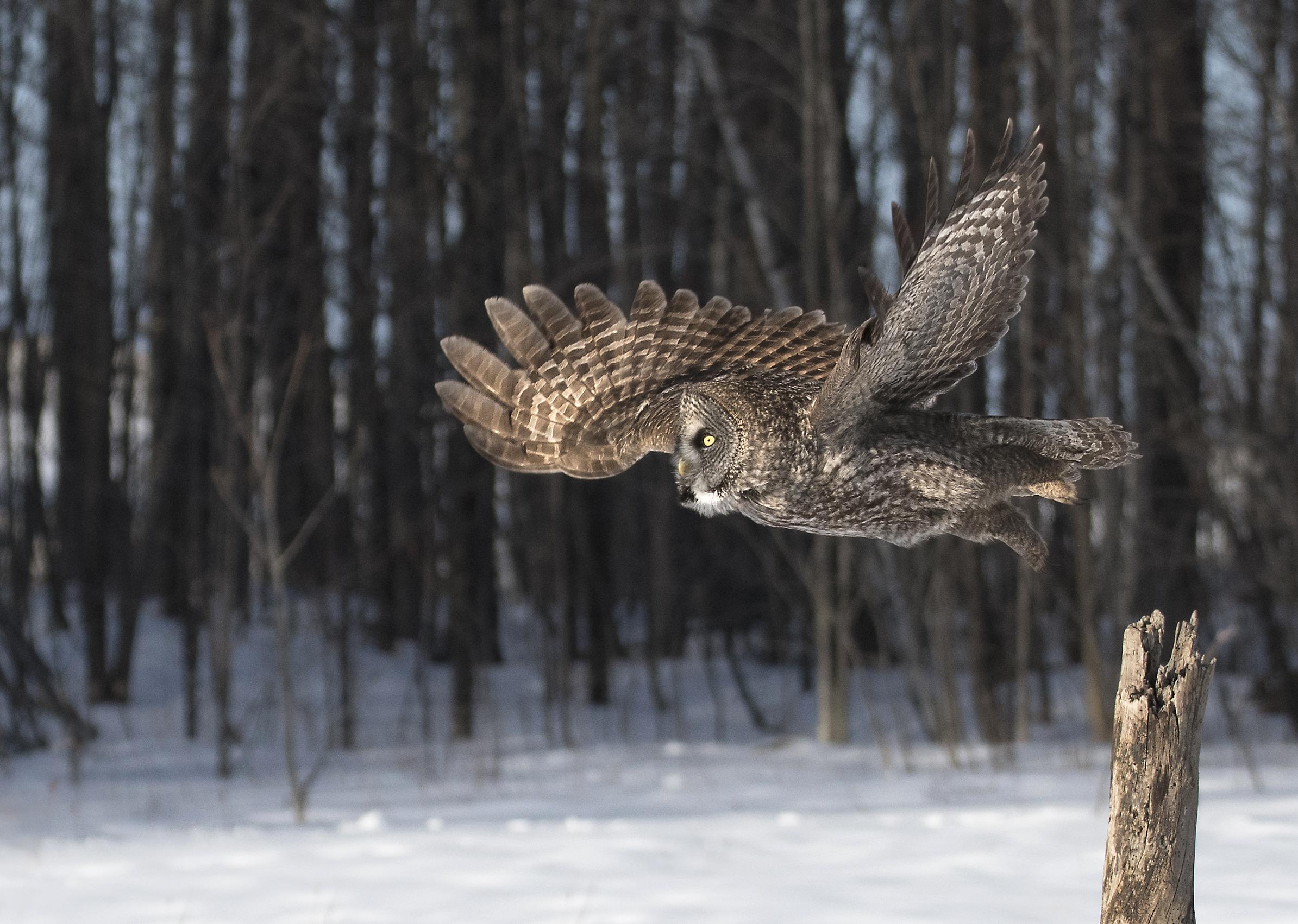 ggo taking flight.jpg