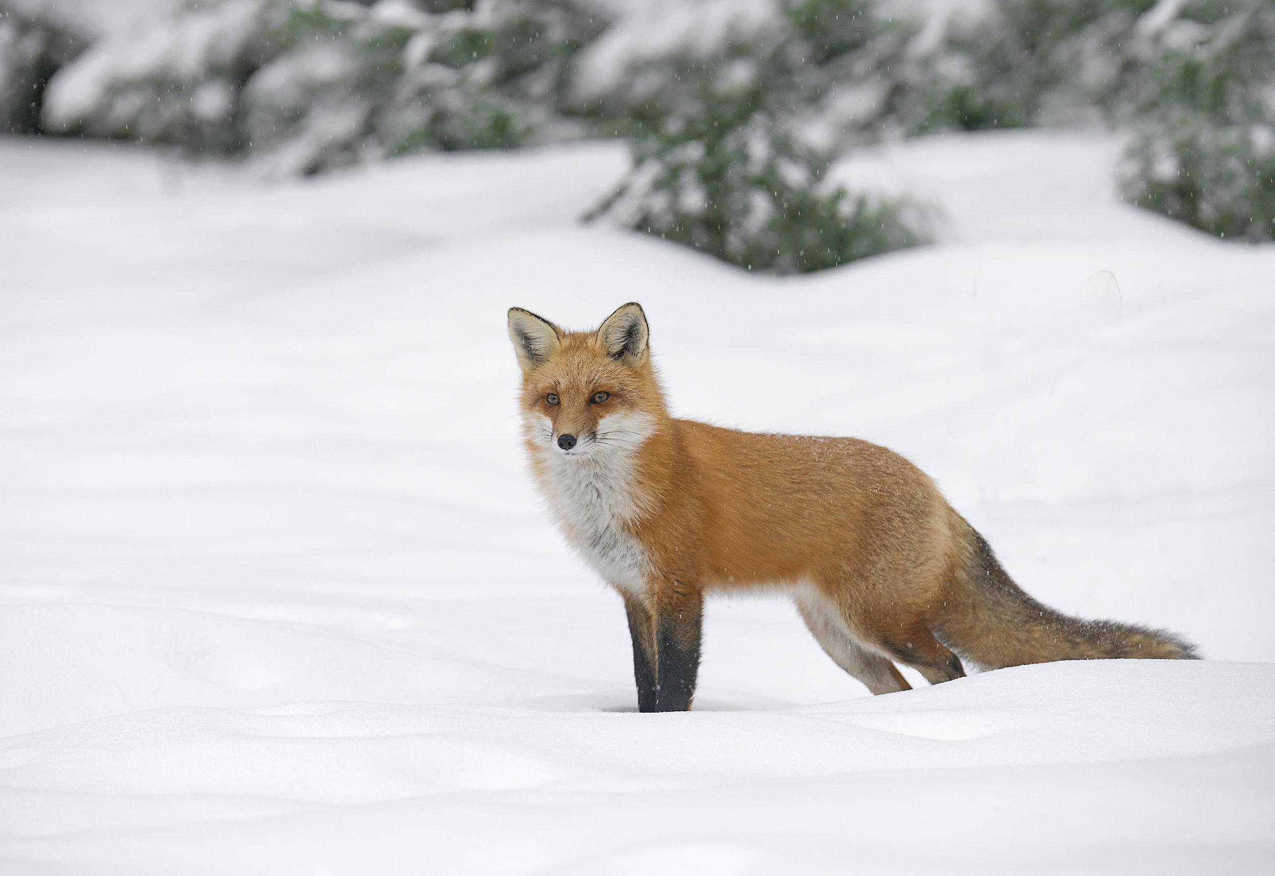 algonquin fox in winter_web.jpg