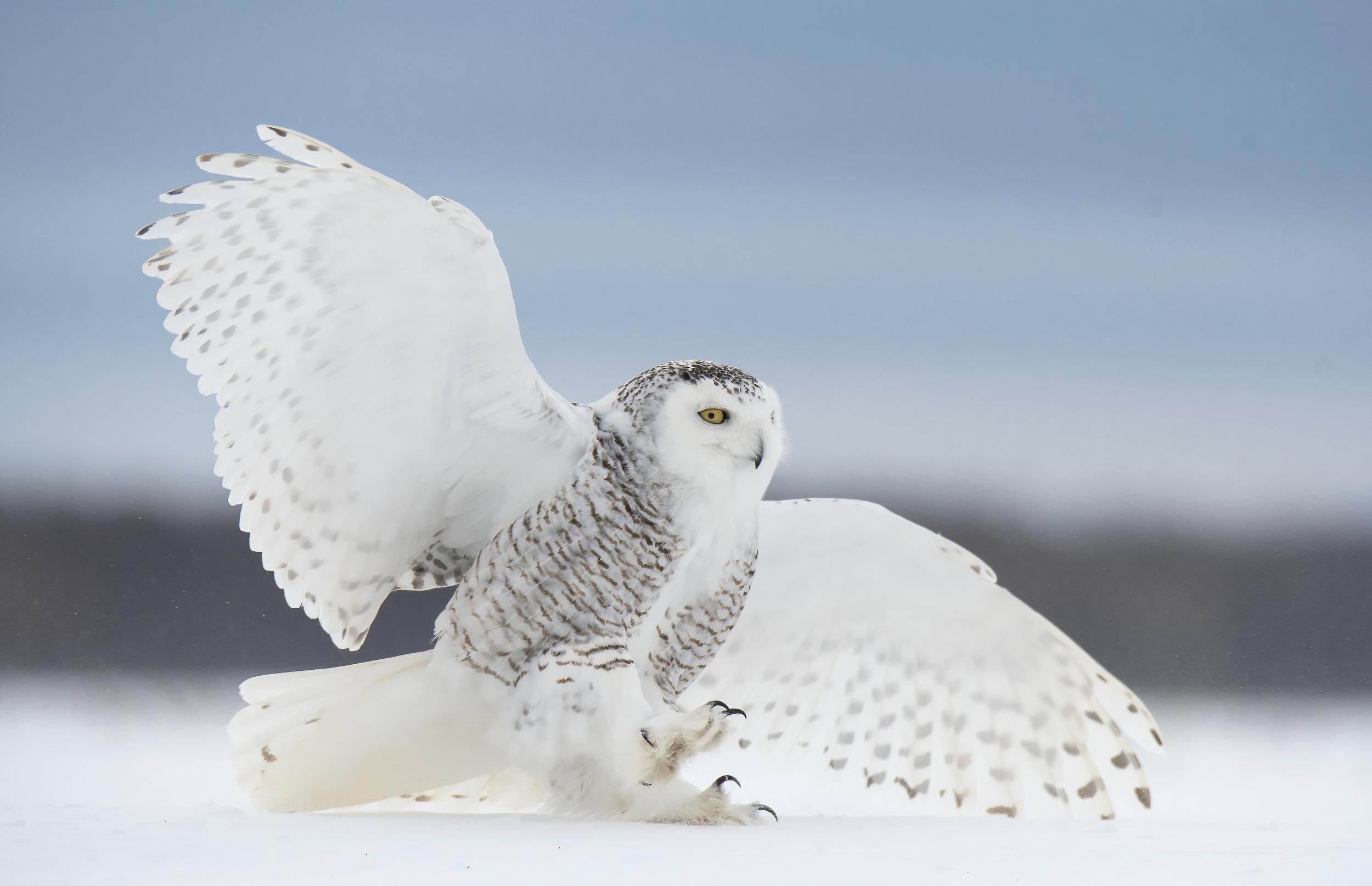 snowy owl landing 2.jpg