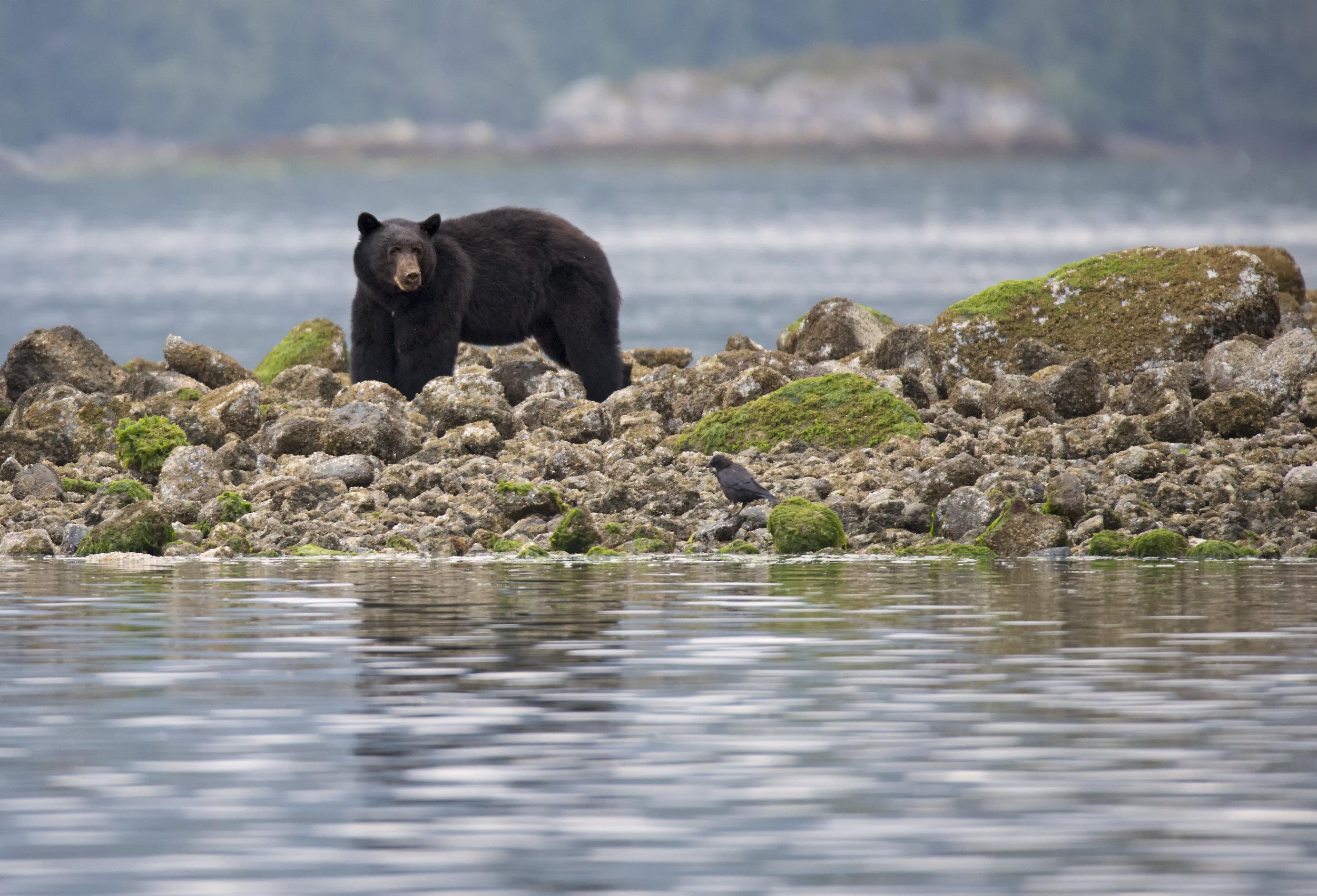 black bear wanders the shoreline in Tofino.jpg