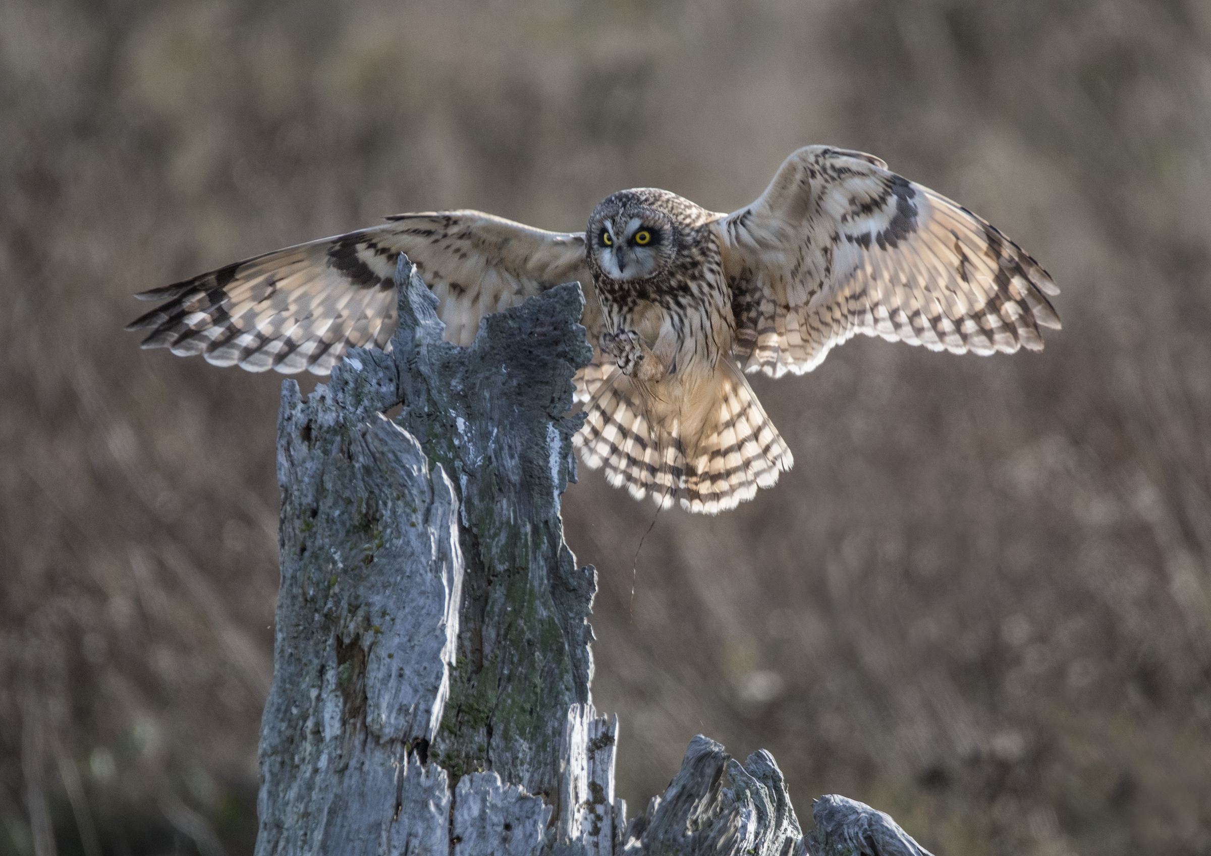 landing short eared owl.jpg