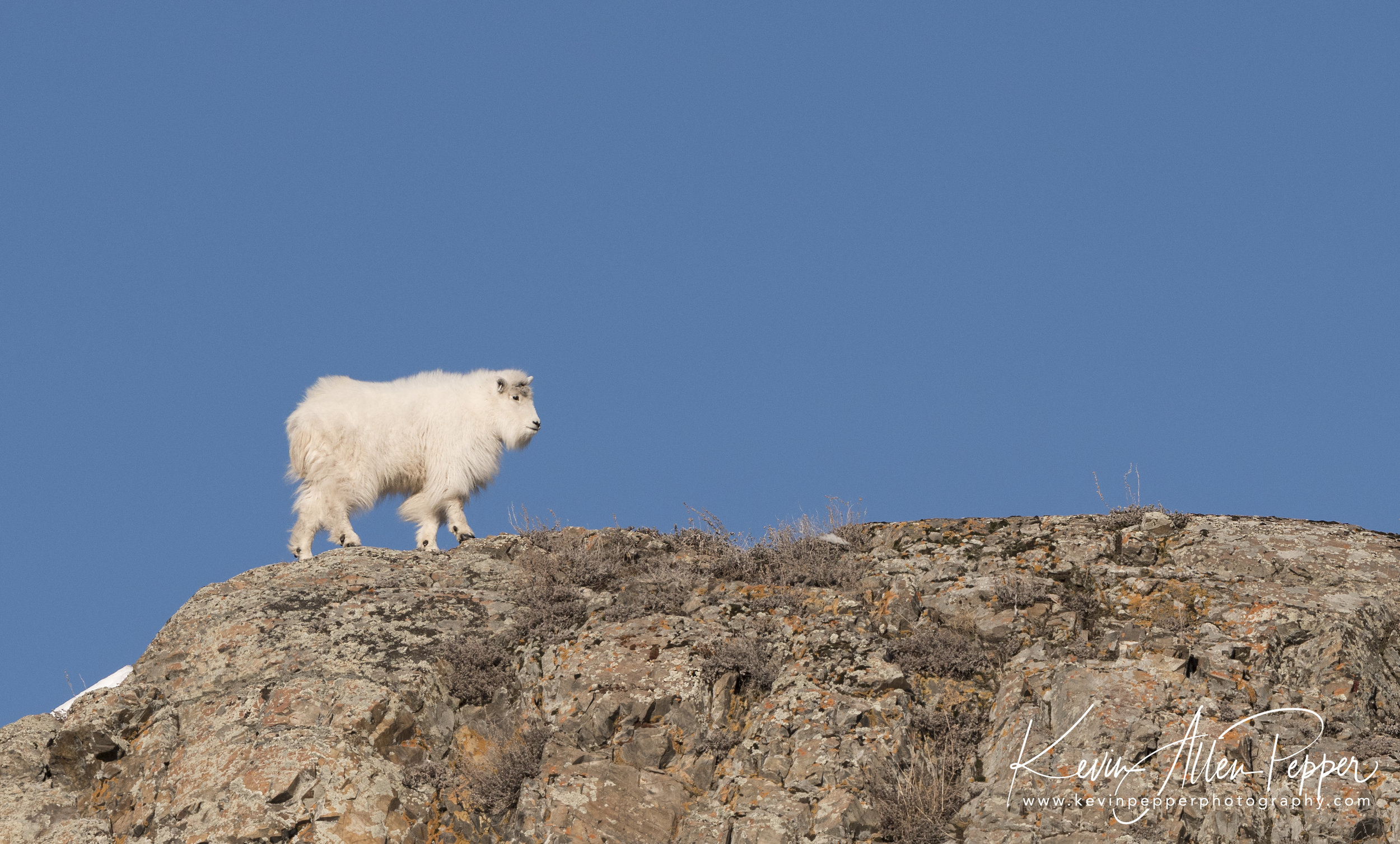 baby mountain goat_G9.jpg