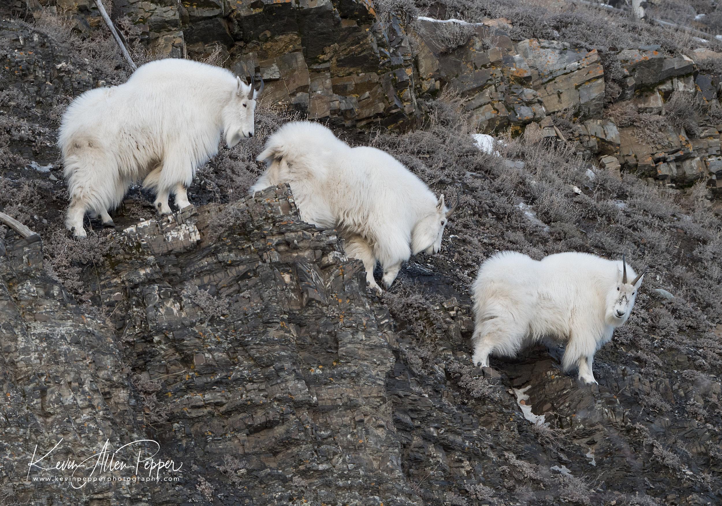 three mountain goats on cliff_g9.jpg