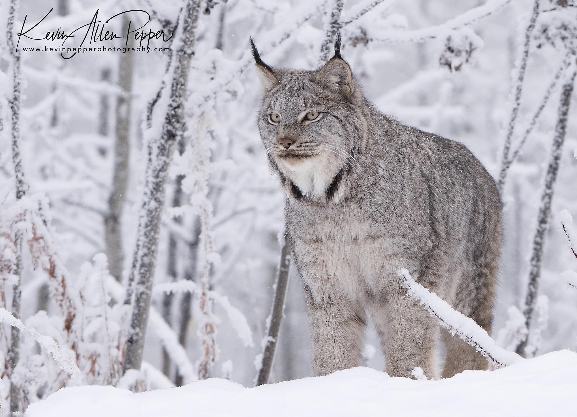 canada lynx on a snowy morning.jpg