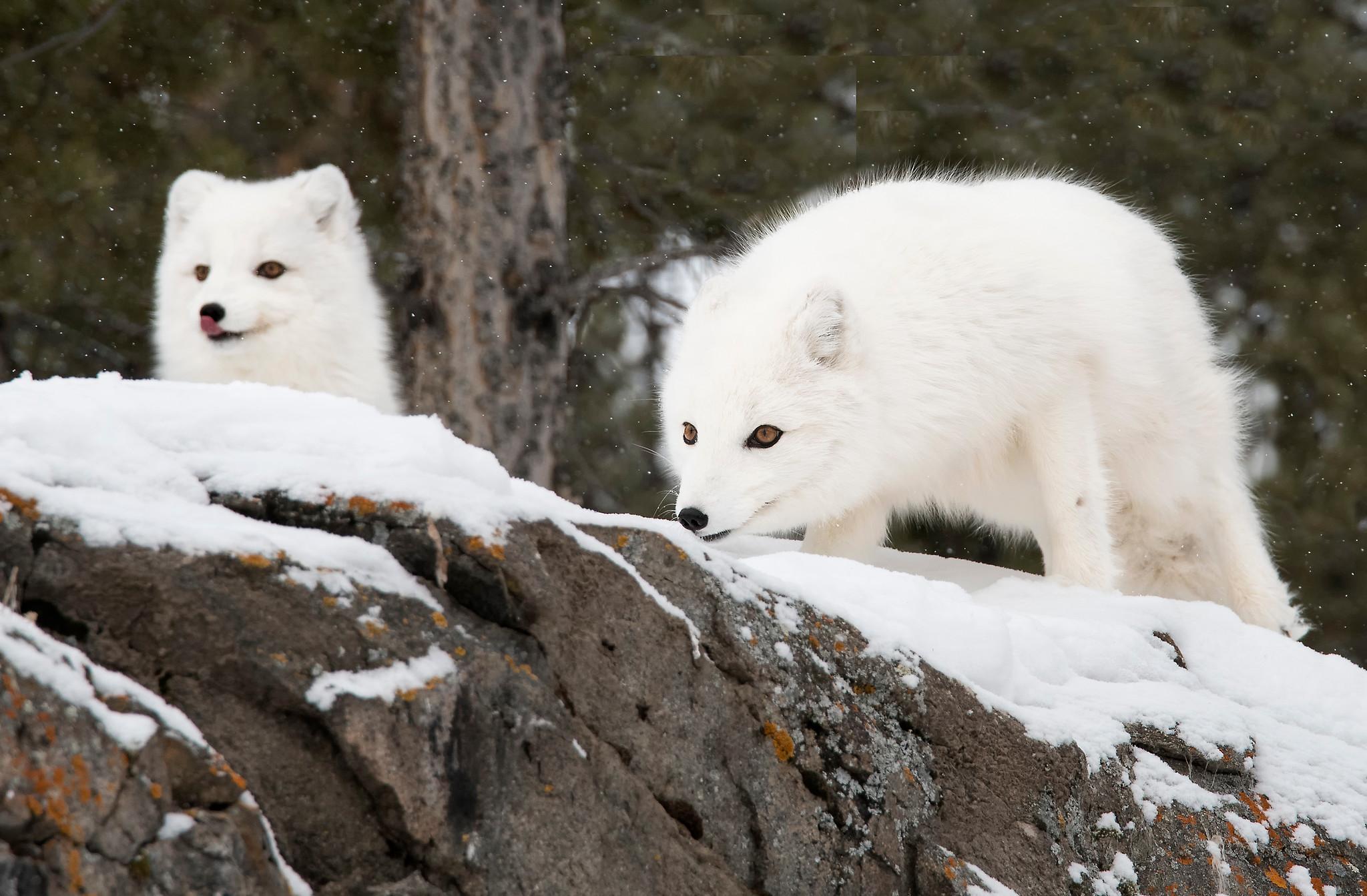 two arctic fox-X4.jpg