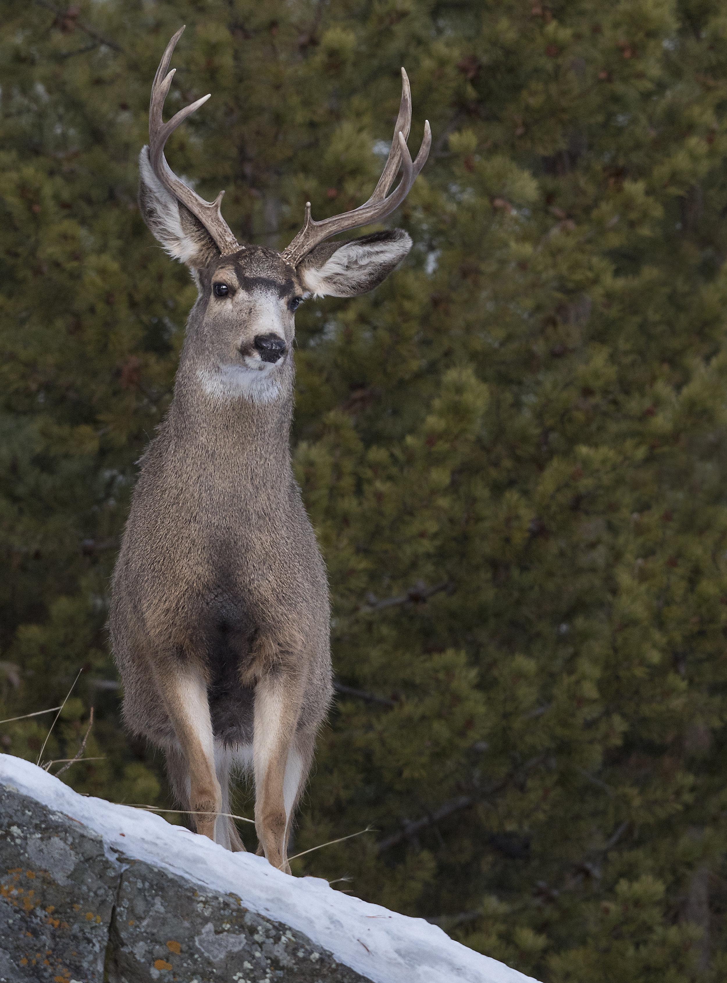 mule deer_g9.jpg