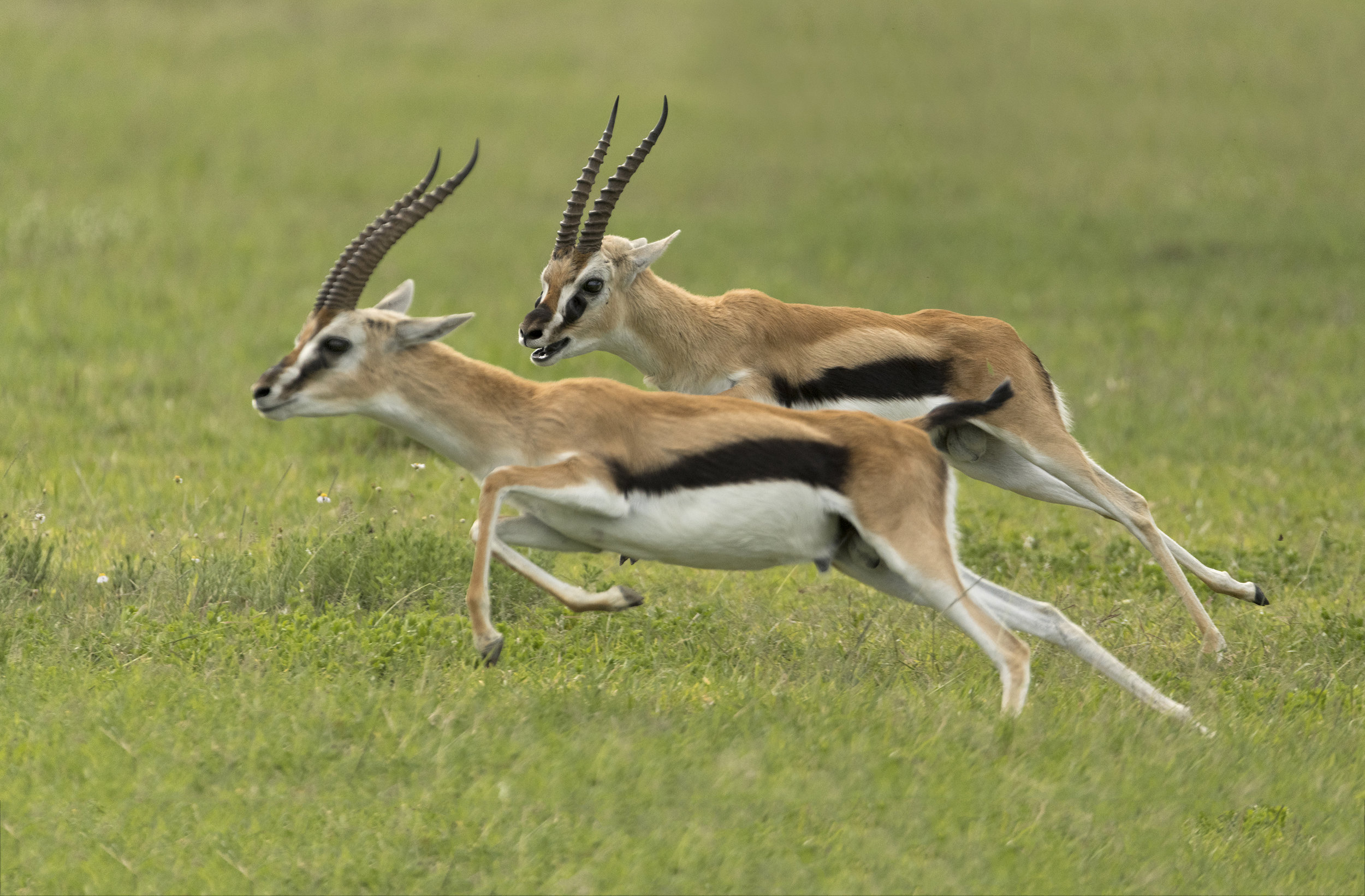 Thomsons Gazelle.jpg