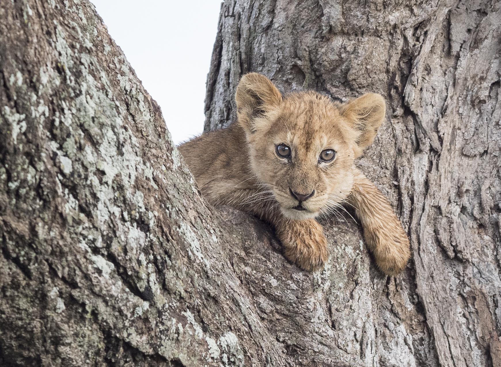 lion cub_LUMIX.jpg