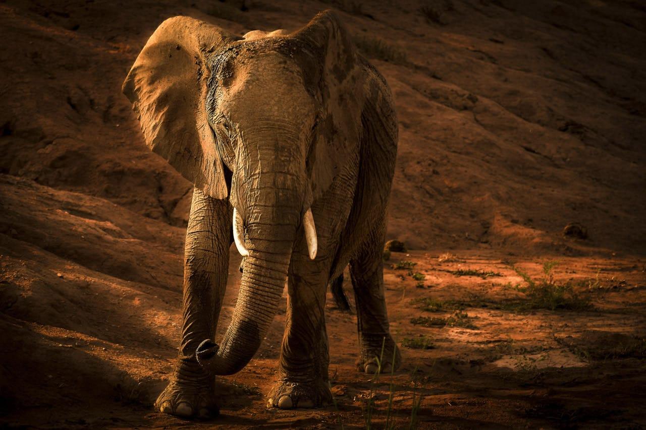 desert-elephant-namibia.jpg