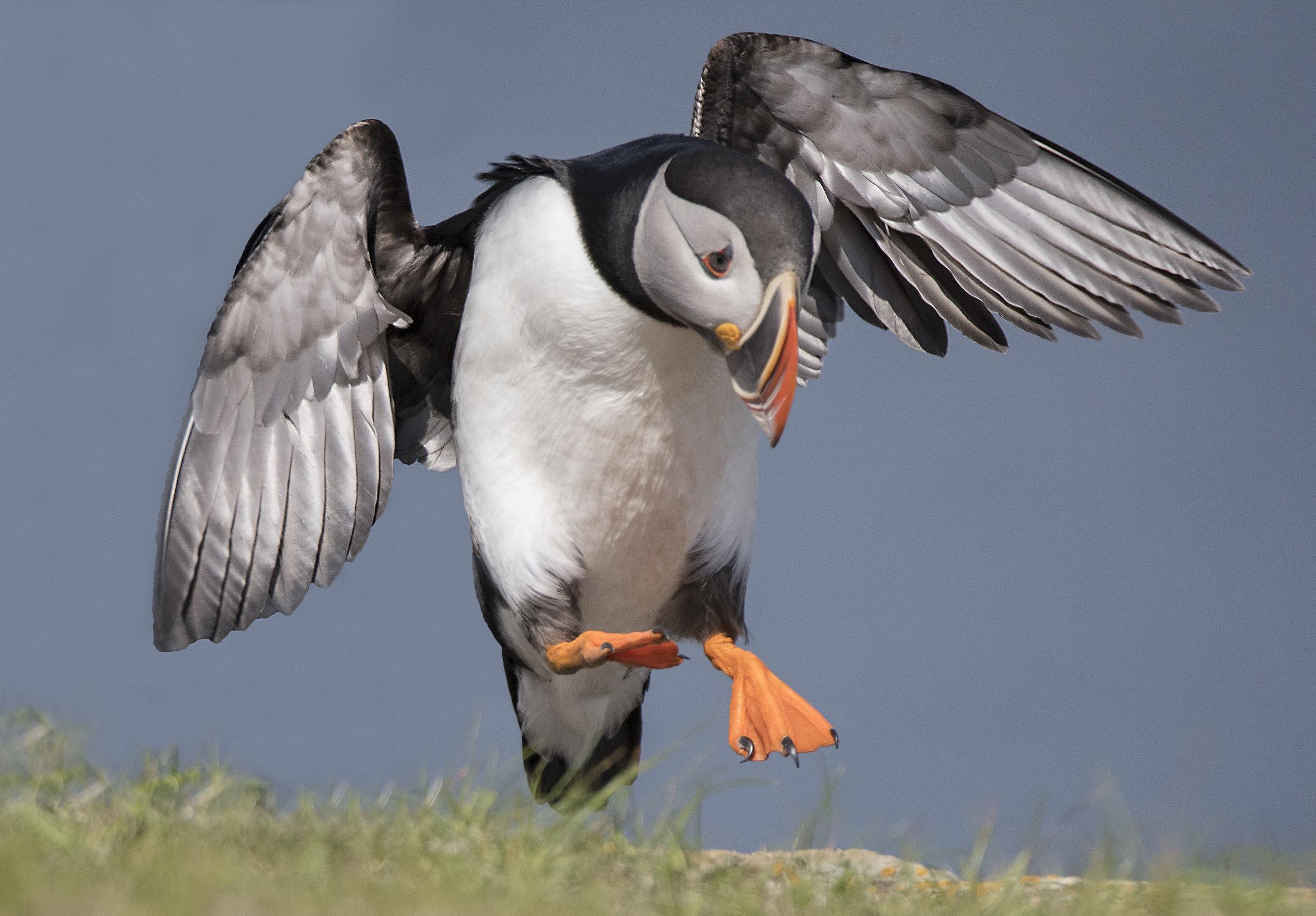 puffin landing.jpg