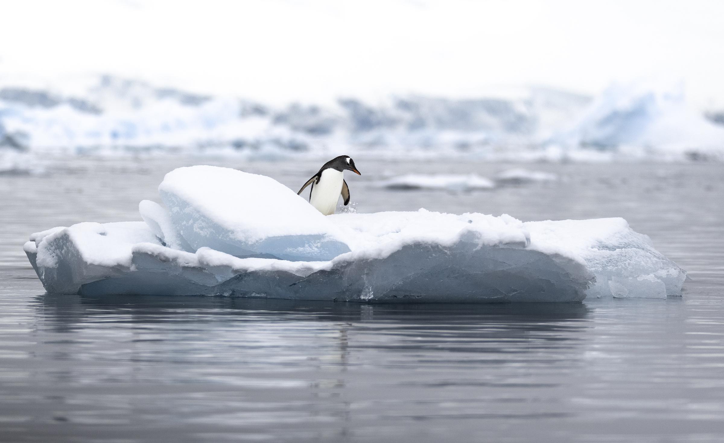 gentoo penguin on iceberg.jpg