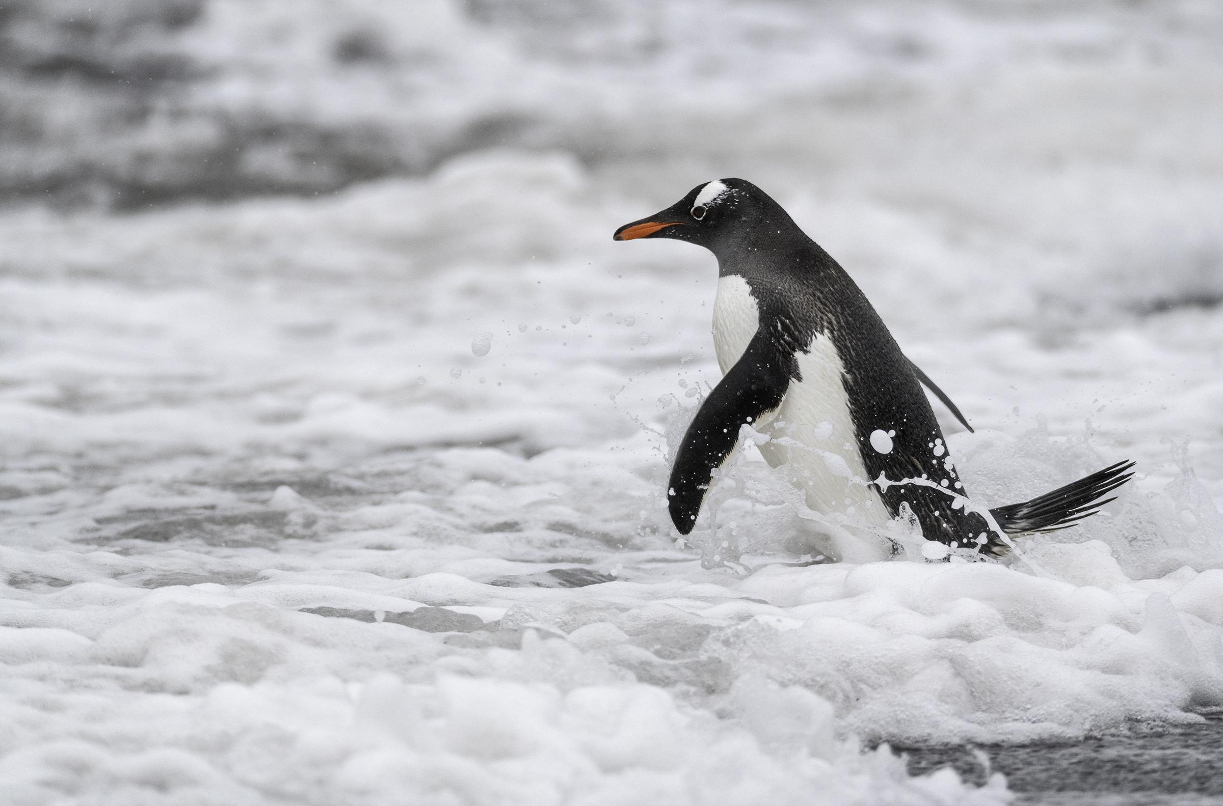 penguin in teh surf.jpg