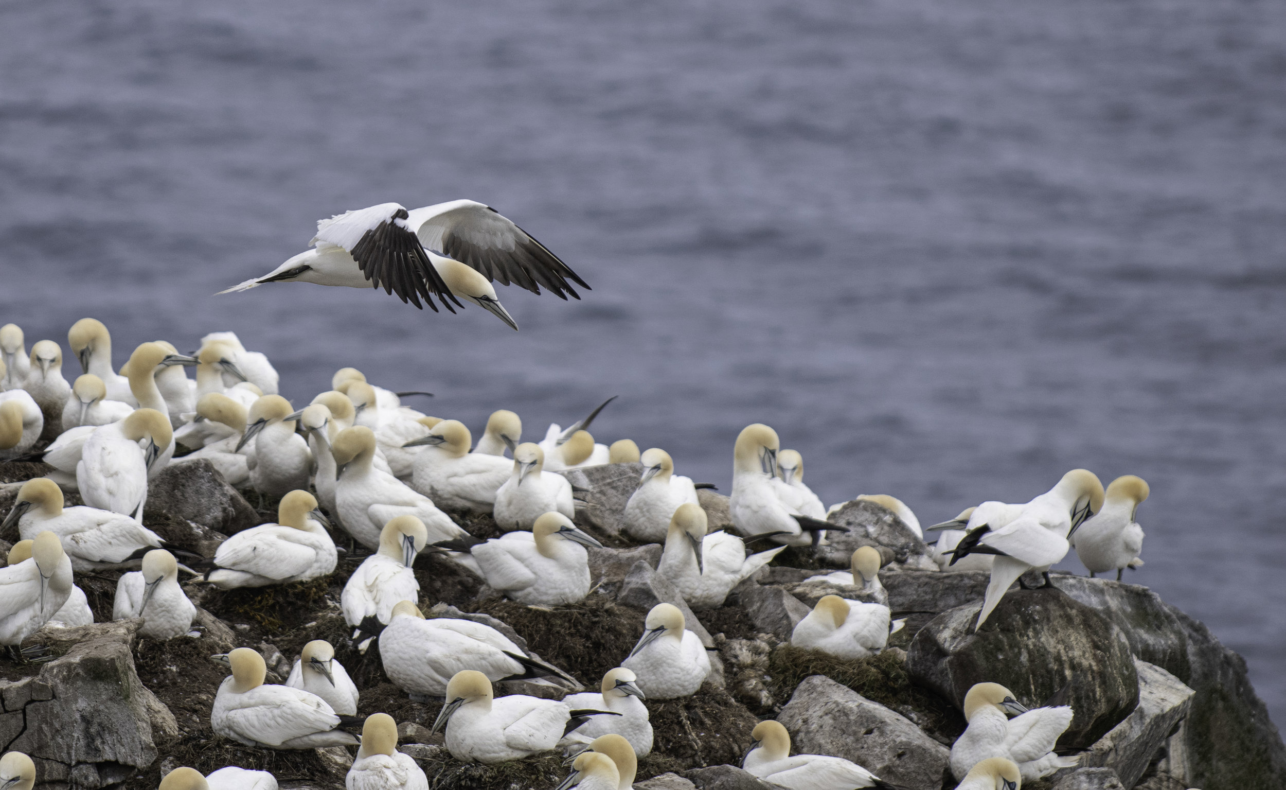northern gannet flying copy.jpg