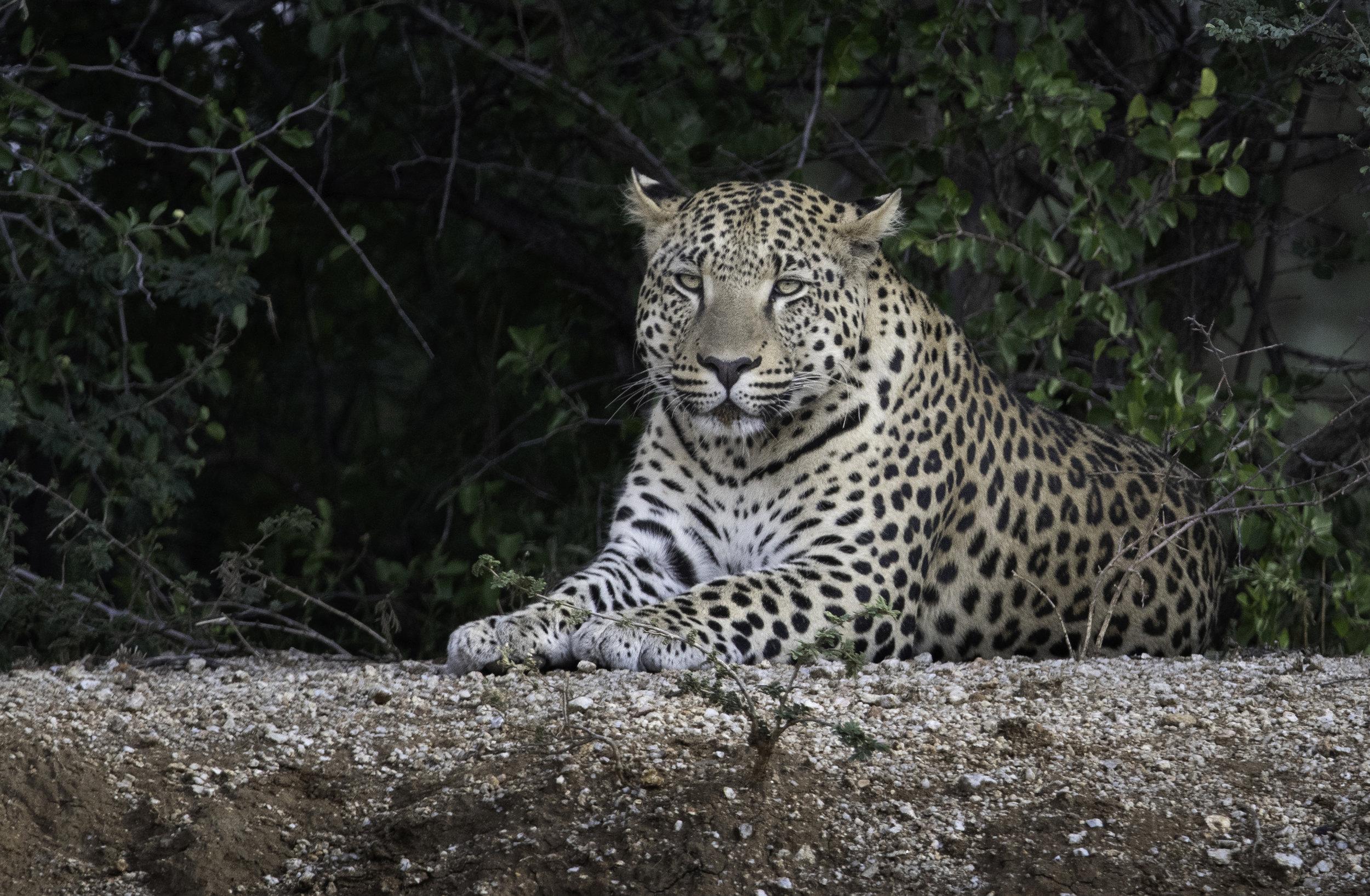 namibia leopard.jpg