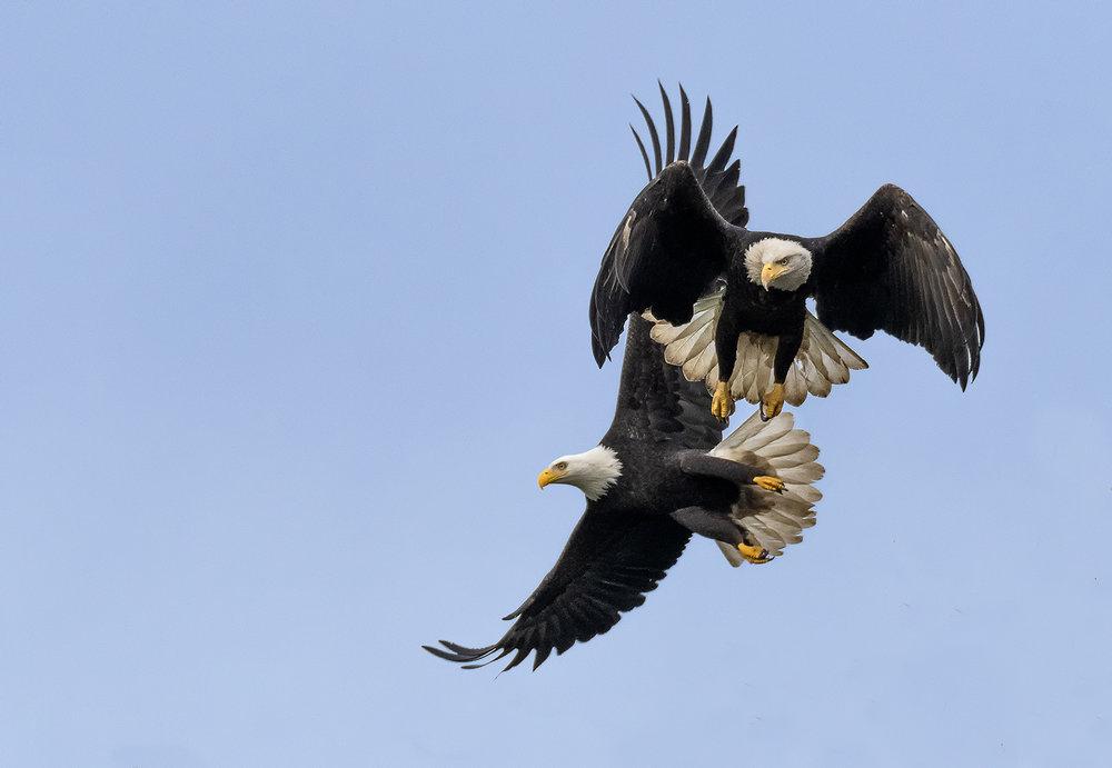 two+eagles+in+flight.jpg