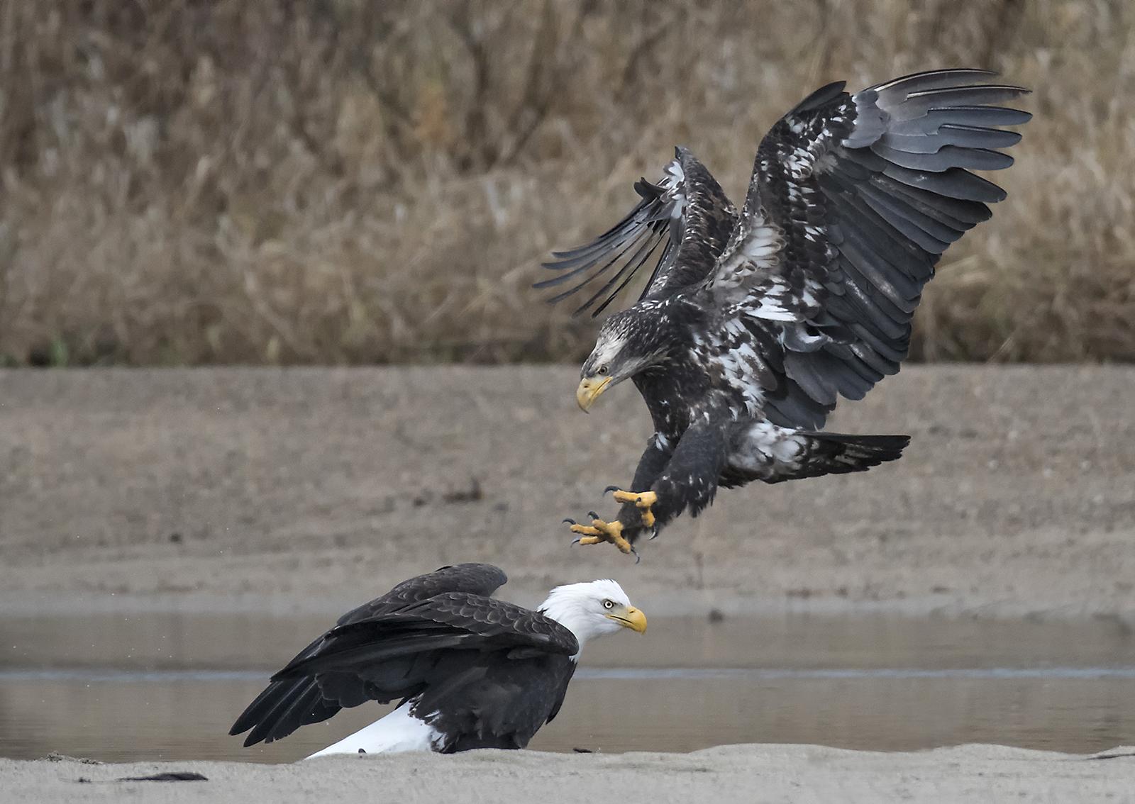 juvenile+and+adult+bald+eagle.jpg