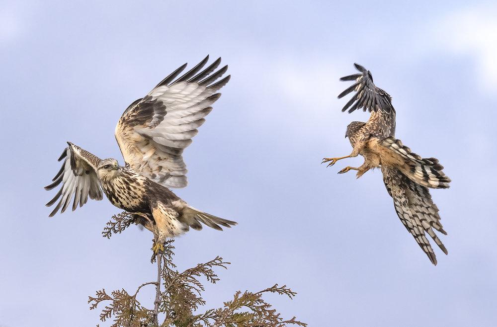 rough+legged+hawk+and+northern+harrier.jpg