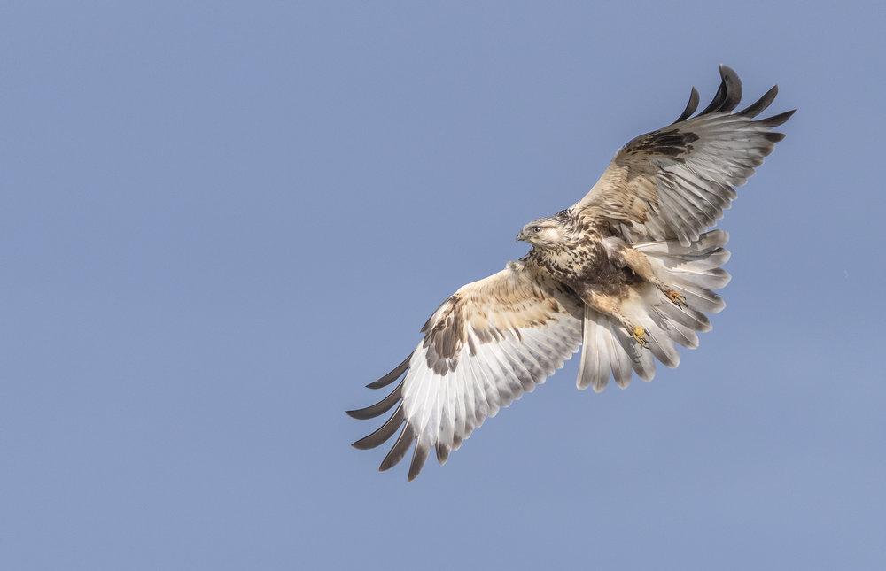 rough+legged+hawk+in+flight+(1).jpg