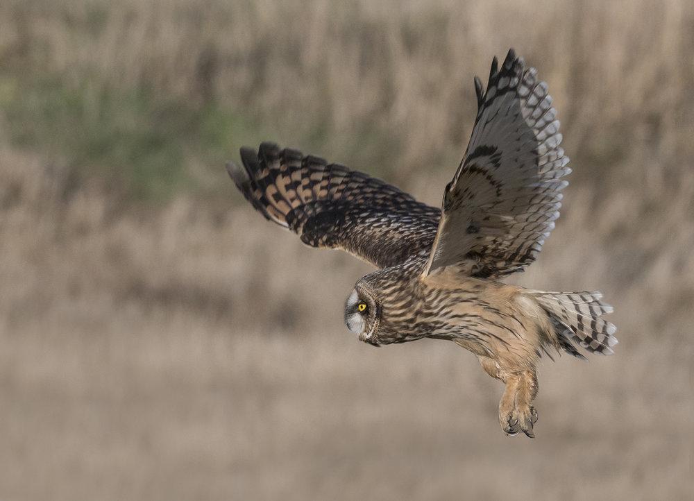 short+eared+owl+hunting.jpg